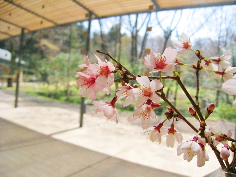 とらやカフェの軒に咲く桜