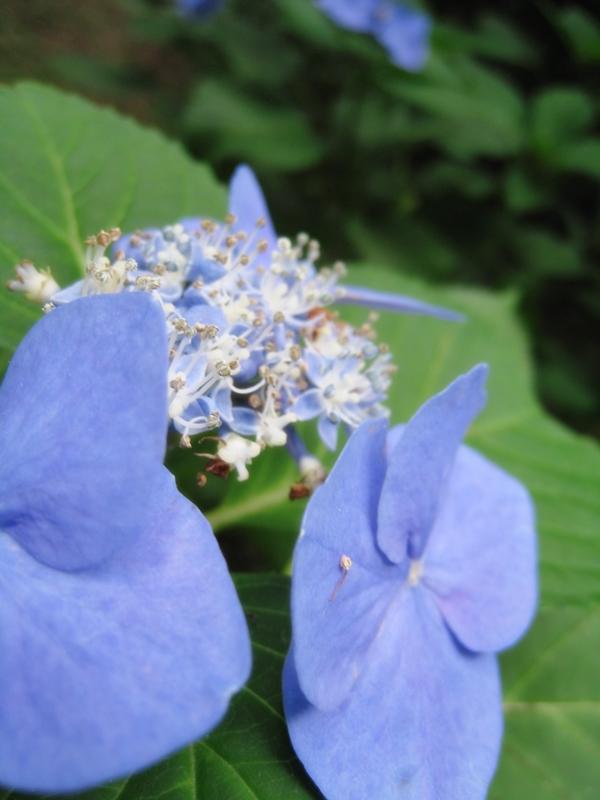 とらやカフェの庭に咲くアジサイ