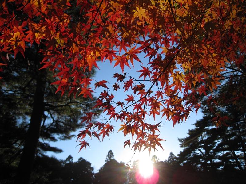 太陽に照らされる紅葉