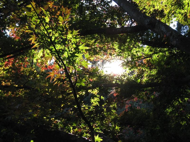太陽に照らされて陰になる緑の紅葉