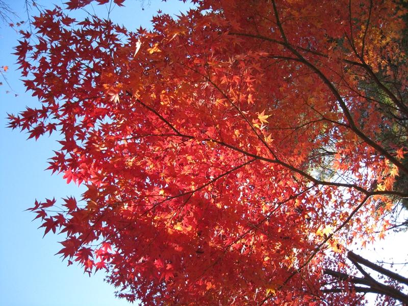青空と赤い紅葉