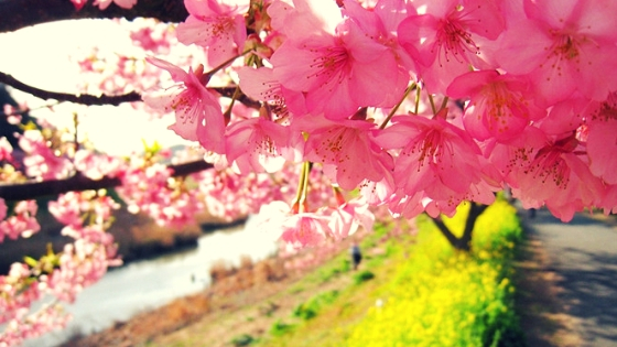 見頃の河津桜と菜の花
