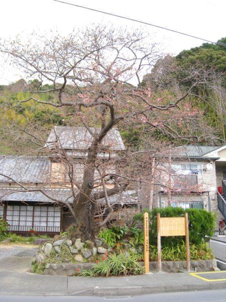 河津桜の原木バックに民家