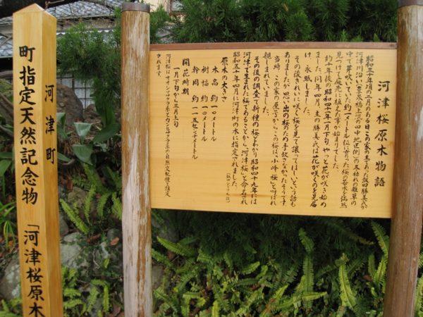 河津桜の原木の看板