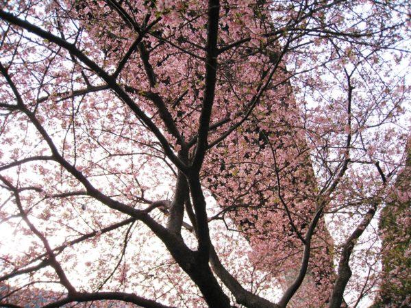 橋の下の見頃の河津桜