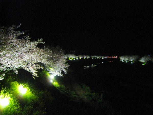 ライトアップされた河津桜と菜の花