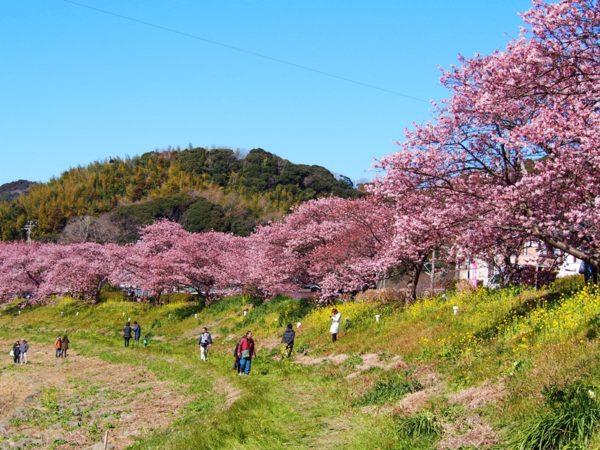 青野川沿いの河津桜並木