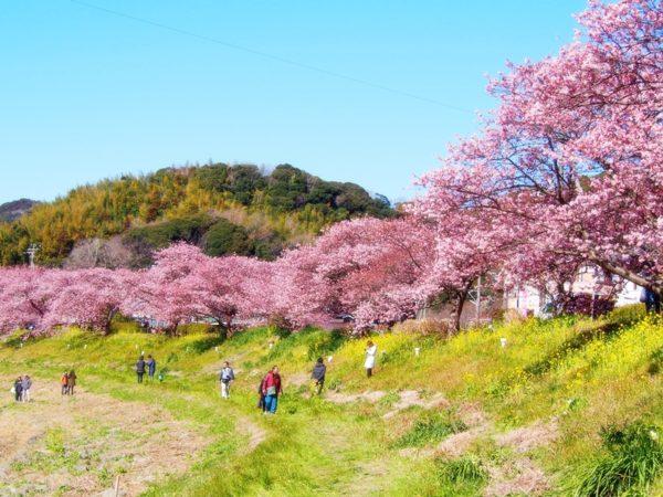 河津桜と菜の花と人々