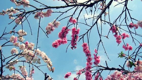 蓮台寺のしだれ桃