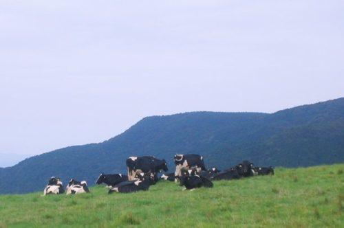 モーモーキッズランド近くの草原に寝そべる牛が数頭