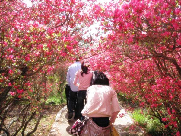 小室山公園のつつじのトンネルを歩く人々