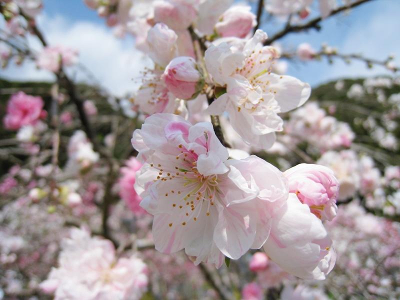蓮台寺の桃の花