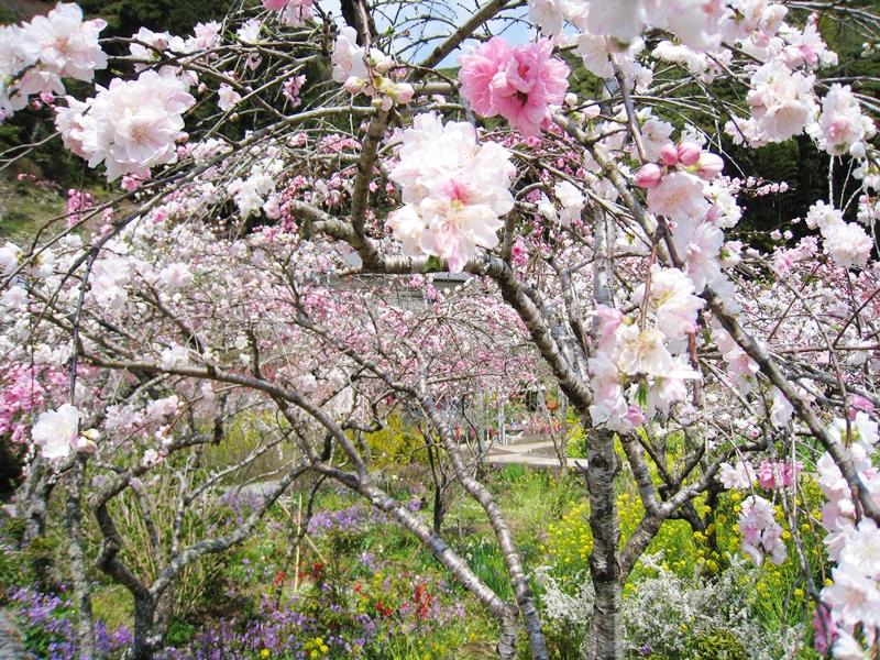 蓮台寺の桃の花と菜の花など