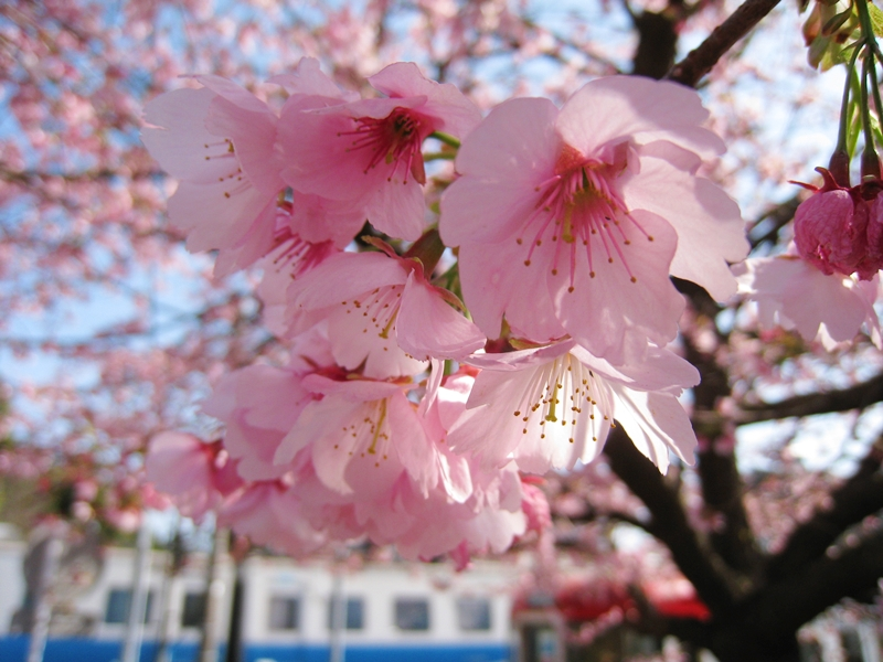 ピンクの桜の蕾と、バックに電車が走っている