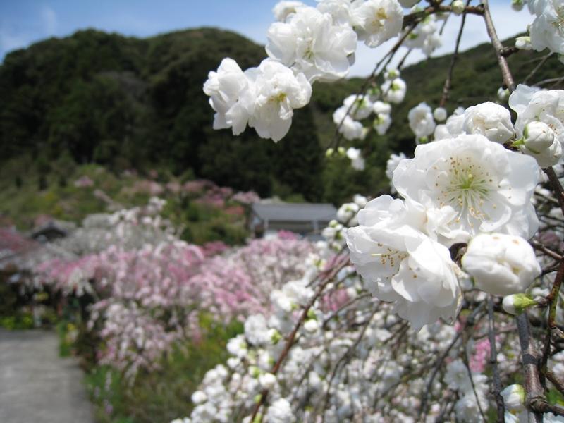 蓮台寺の桃