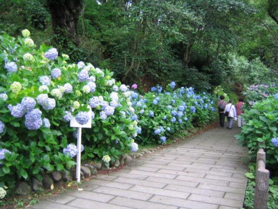 下田公園の通路に咲くあじさい