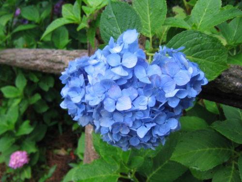 下田公園の青いあじさい