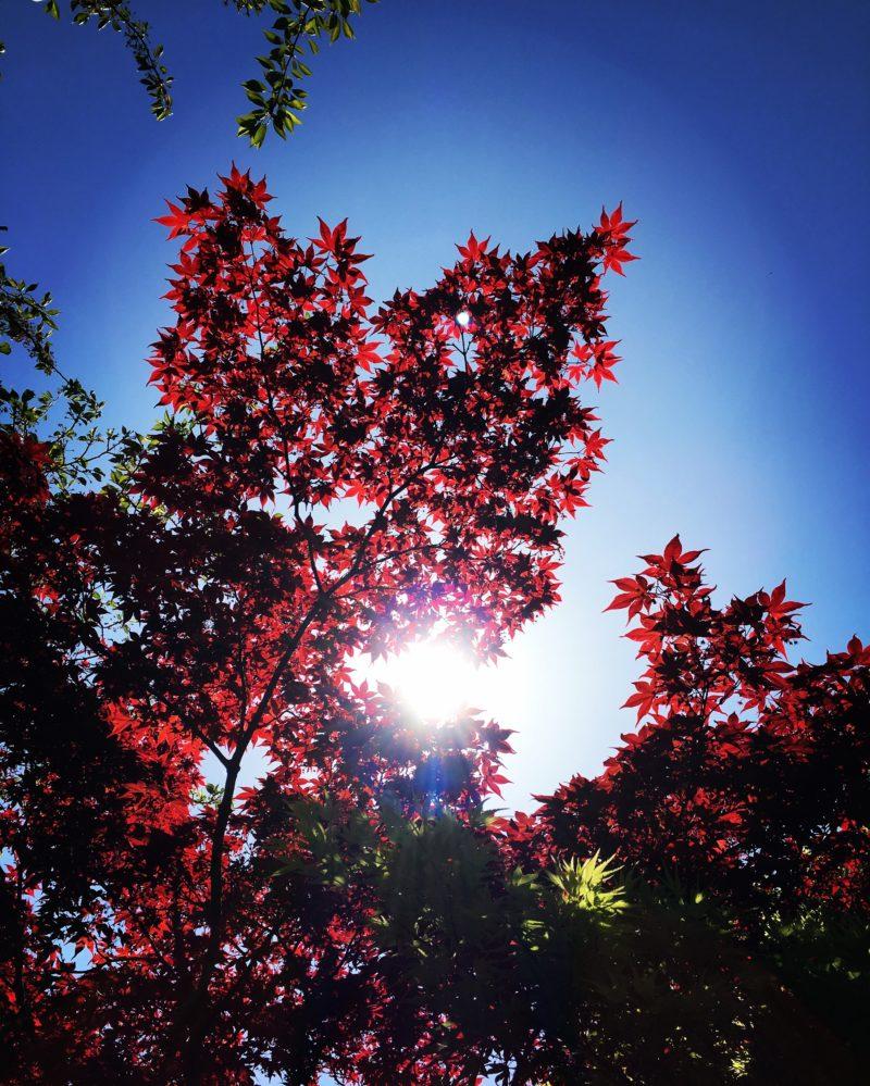 太陽の光に照らされるモミジ