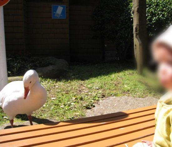 割引クーポンが使える伊豆アニマルキングダムで白い鳥と子供が近くにいる