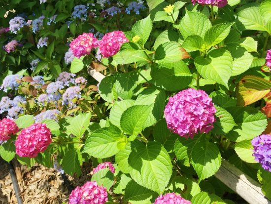 長光寺のピンク色の山あじさい数株と緑の葉
