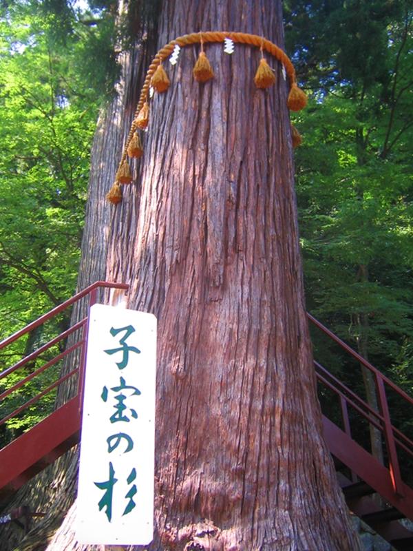 子宝の杉と描かれた看板とそびえる2本の杉の木