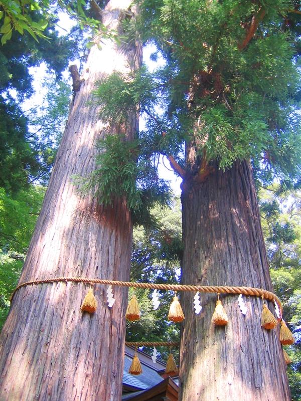 2本の杉の木がしめ縄で結ばれいてる