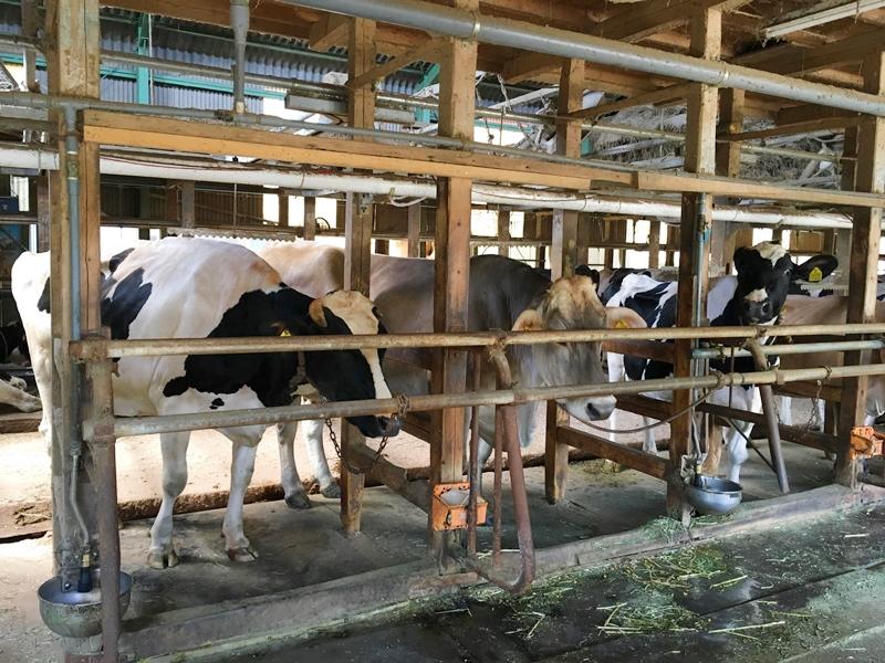 柵の中にいる牛3頭