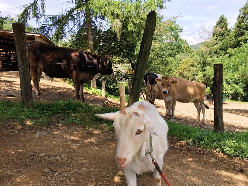 白いヤギと奥に牛が立っている