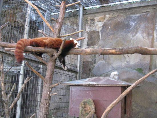 木の上で寝ている熱川バナナワニ園のレッサーパンダ